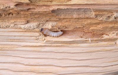 Вредители древесины: распространенные виды и способы борьбы с ними