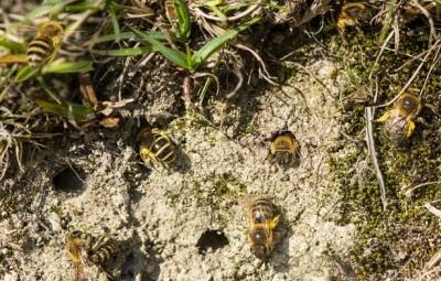 Земляные пчёлы: польза, вред, способы борьбы