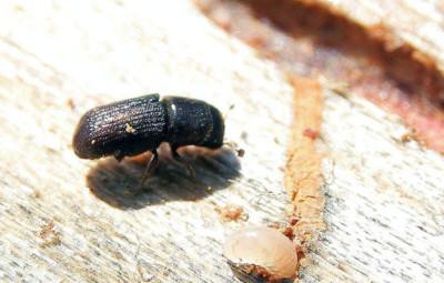 Садовый вредитель шашель – прожорливый губитель древесины