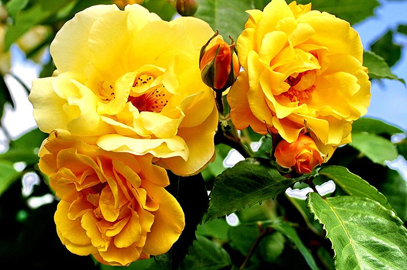 <b>Golden Gate.</b> Сорт с цветами жёлтого цвета. Они имеют бархатистую структуру и запах тропических фруктов. Побеги роз вырастают до 4-4,2 метров. Недостатком сорта является его приверженность к различным видам болезней. Оно часто повреждается вредителями. Кусты необходимо укрывать на зиму.