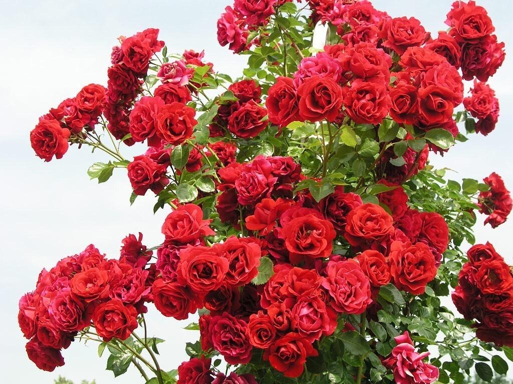 <b>Golden Get Sympathie.</b> Сорт с ярко-красными цветами, собранными в небольшие кисти. Побеги роз вырастают до 1,8-3 метров. Кусты стойко переносят различные природные негативные факторы. Недостатком сорта является скудность цветения после первого года роста.