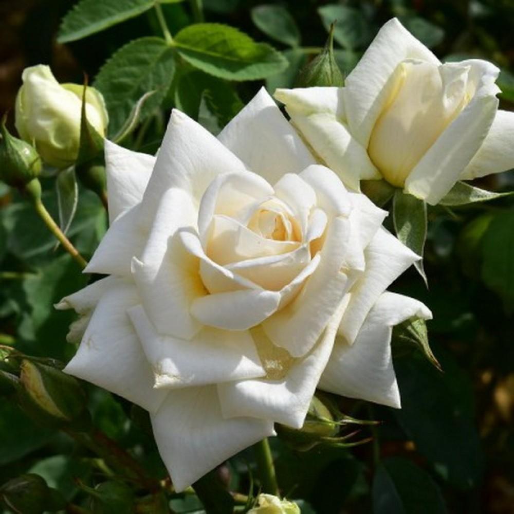 <b>Ilse Krohn Superior.</b> Устойчивый к затяжным дождям, низким температурам и вредителям сорт имеет цветы молочного цвета. Побеги роз вырастают до 2,2 метров. Кусты растения отличаются пышностью и раскидистостью.