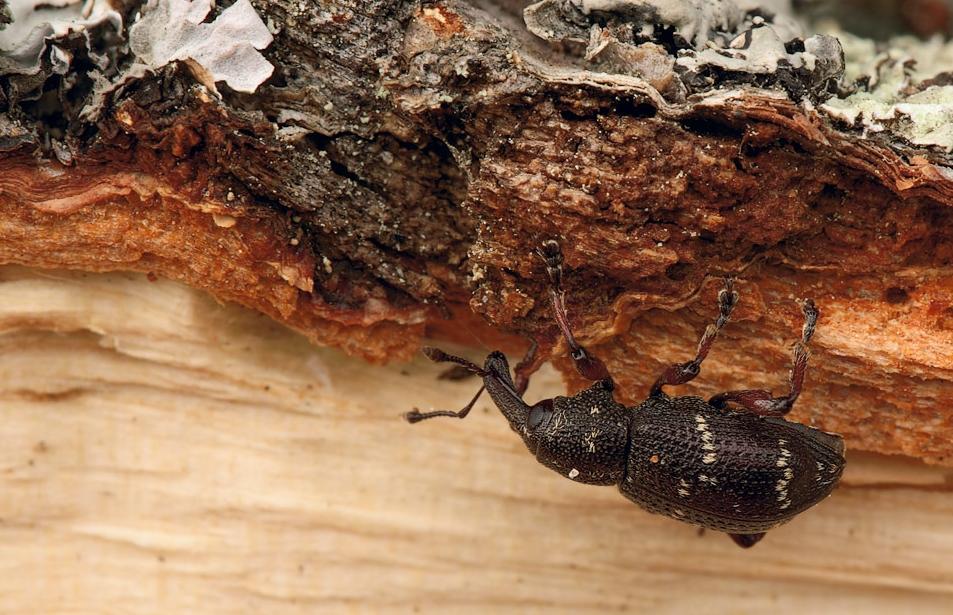 Ускорение процессов гниения древесины. Она приобретает темный цвет и пористую структуру.