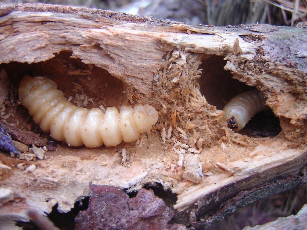 Глубокие ходы на поверхности древесины.