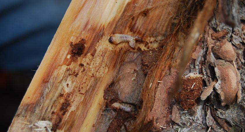 Наличие белых толстых личинок непосредственно под корой.